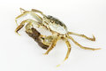 Chinese mitten crab a mature Royalty Free Stock Photography