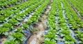 Chinese mustard field Stock Photography