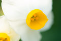 Chinese Narcissus-Narcissus tazetta Royalty Free Stock Image