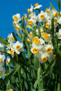 Chinese Narcissus-Narcissus tazetta Stock Images