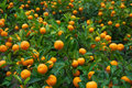 Chinese orange Royalty Free Stock Photos