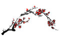Chinese painting of plum blossom flowers on white background Royalty Free Stock Image