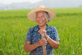 Chinese peasant senior female in the rice filed Royalty Free Stock Photos