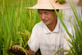 Chinese peasant senior male in the rice filed Royalty Free Stock Image