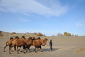 Chinese people with camels in desert Royalty Free Stock Photo