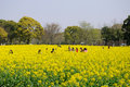 Chinese people walking through a field of yellow flowers and taking pictures among the rape also known as brassica napus blooming Stock Photo
