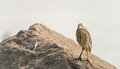 Chinese pond heron bird a on the rock Stock Image
