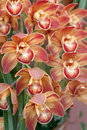 Chinese rare orchids Stock Images