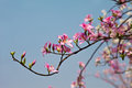 Chinese redbud branches of tree against blue sky Royalty Free Stock Photography