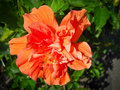 Chinese rose or chinese hibiscus rosa sinensis l malvaceae Royalty Free Stock Photo