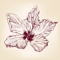 Chinese rose vector llustration hand drawn realistic sketch Stock Photography