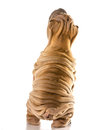Chinese shar pei from back side standing up begging Royalty Free Stock Image