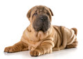 Chinese shar pei puppy laying down looking at viewer isolated on white background Royalty Free Stock Image