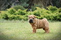Chinese Shar pei puppy portrait Royalty Free Stock Photo