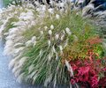 Chinese Silver Grass and Heavenly Bamboo shrub Royalty Free Stock Photo