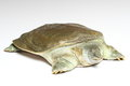 Chinese softshell turtle (Pelodiscus sinensis) on white Royalty Free Stock Photos