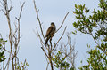 Chinese Sparrowhawk Royalty Free Stock Images