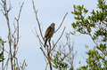 Chinese Sparrowhawk Royalty Free Stock Photography