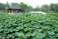 Chinese summerhouse with lotus Stock Photos