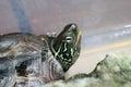 Chinese three keeled pond turtle mauremys reevesii female in japan Royalty Free Stock Image
