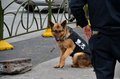 Chinese trained police dog from canine unit shanghai china february a sits on the pavement the back of the officer handling the is Royalty Free Stock Images