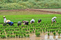 Chinese transplant rice seedlings Royalty Free Stock Photo