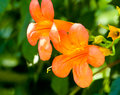 Chinese trumpet creeper blooming