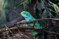 Chinese water dragon Physignathus cocincinus, also called green water agama Royalty Free Stock Photo