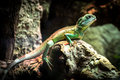 Chinese water dragon (Physignathus cocincinus) Royalty Free Stock Photo