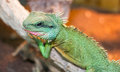 Chinese water dragon Physignathus cocincinus is a species of a Royalty Free Stock Photo