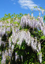 Chinese wisteria (Wisteria sinensis) Royalty Free Stock Photo