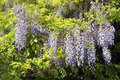 Chinese wisteria wisteria sinensis the blooming in spring by sunset Stock Image