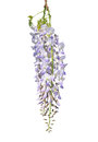Chinese wisteria wisteria sinensis colorful and crisp image of Stock Images