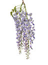 Chinese wisteria wisteria sinensis colorful and crisp image of Stock Photos
