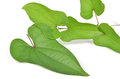 Chinese yam leaf Stock Images