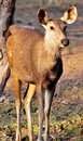 Chinkara deer Royalty Free Stock Photos