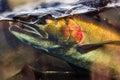 Chinook Coho Salmon Close Up I...