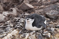 Chinstrap penguin a brooding in antarctica Stock Photography