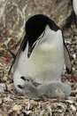 Chinstrap Penguin with chick Royalty Free Stock Photo