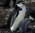 Chinstrap Penguins, Antarctica Royalty Free Stock Photo