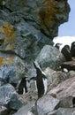 Chinstrap penguins (Pygoscelis antarctica) on Half Moon Island, Bransfield Strait, Antarctica Royalty Free Stock Photo