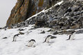 Chinstrap penguins some running up the hill in antarctica Stock Photography