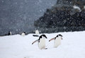 Chinstrap penguins trekking through storm in antarctica Royalty Free Stock Images