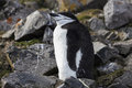 Chinstrap pinguin sleeping antarctic peninsula area Stock Photo