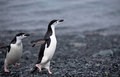 Chinstrap pinguine Stockbilder