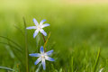 Chionodoxa glory of the snow in spring blooming chionodxa close up superb bokeh an copy space Stock Photo