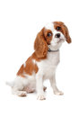 Chiot cavalier du Roi Charles Spaniel Photo stock