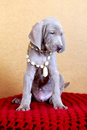 Chiot de bleu de weimaraner Photo stock