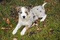 Chiot de border collie Photographie stock