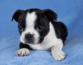 Chiot de chien terrier de Boston Image stock